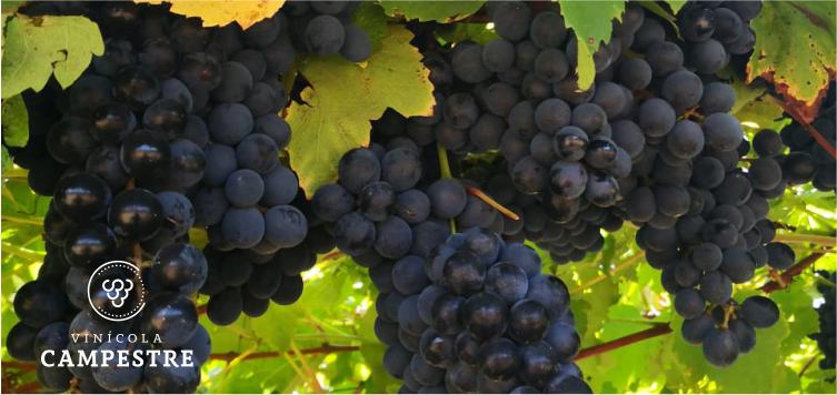 Entenda o que é o grau de maturação da uva para fazer vinho
